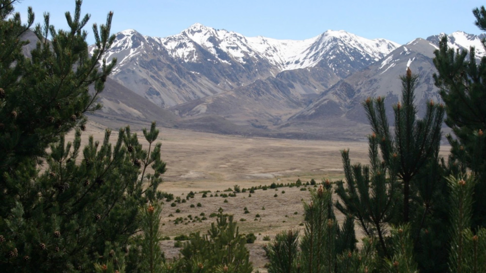 Wilding conifers in Tarndale, Molesworth