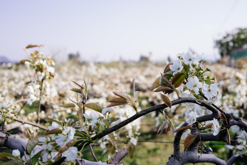Soma Fukushima Peaches