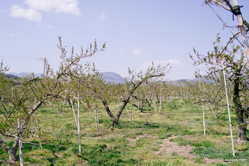 Blossom Trees Fukushima Asemi
