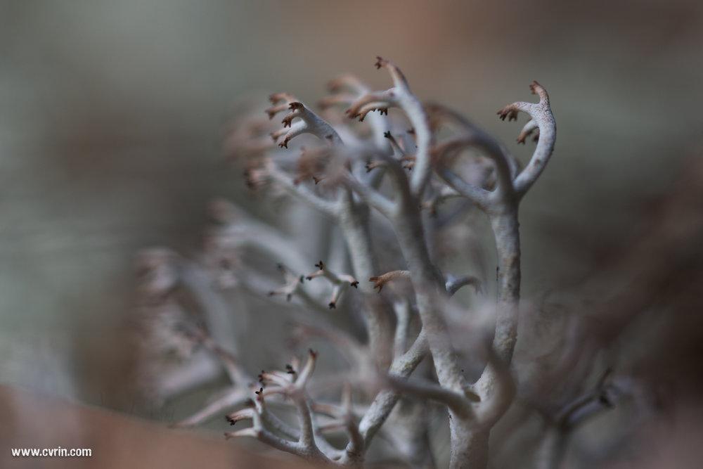 Le lichen pris en photo macro me fait terriblement penser à du corail terrestre!