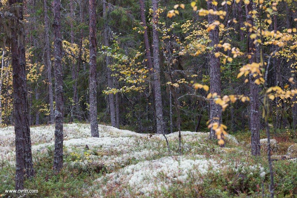 Le magnifique lichen typique du Nord.  Sigma ART 70mm Macro • Canon 6D