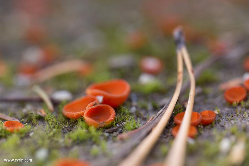 Tombée sous le charme de ces champignons microscopiques!  Sigma ART 70mm Macro • Canon 6D