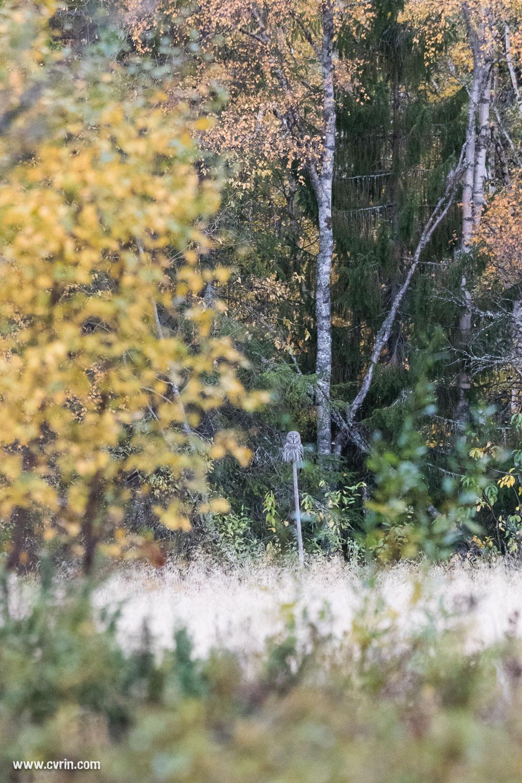 La surprise du jour, un magnifique hibou!  Sigma 100-400mm • Canon 7DMKII