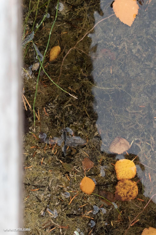 Une libellule rabattue dans l'eau par un énorme coup de vent.  Sigma 100-400mm • Canon 7DMKII