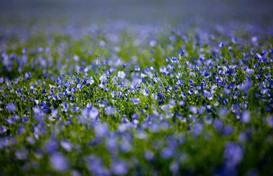 Flax field close up