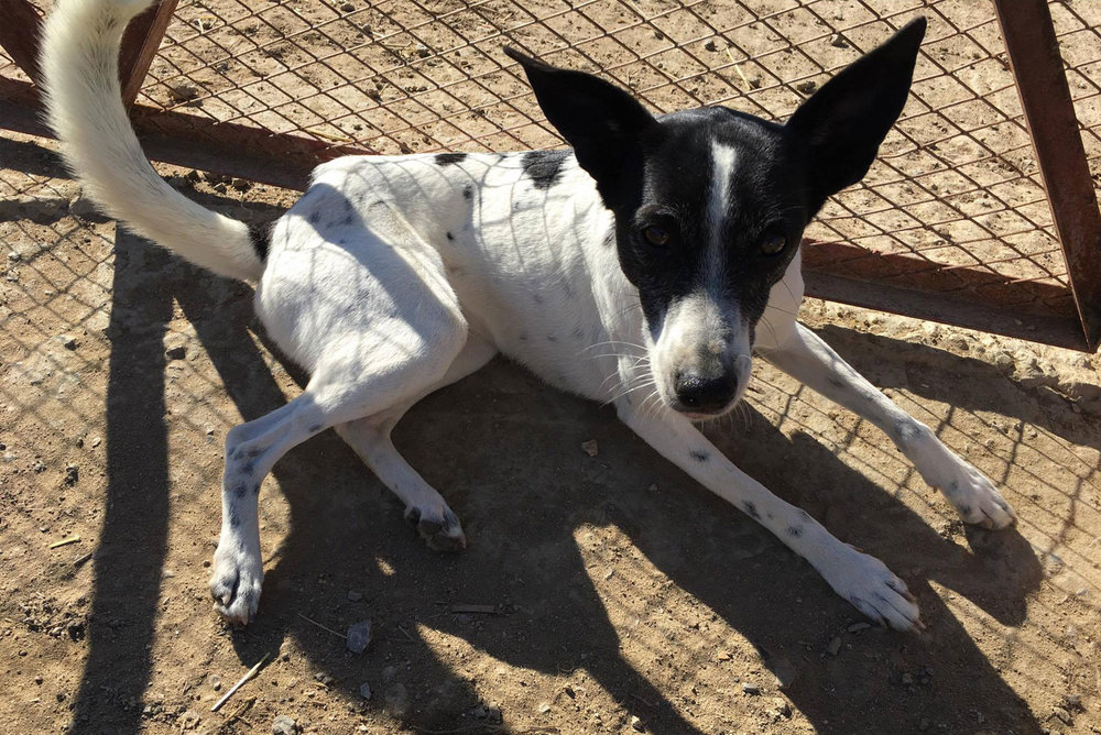 SFT_Adopt_Dogs_Profile_Pepi_01.jpg