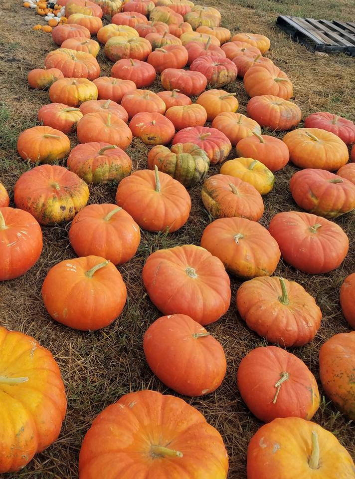 meuschke farms pumpkins.jpg