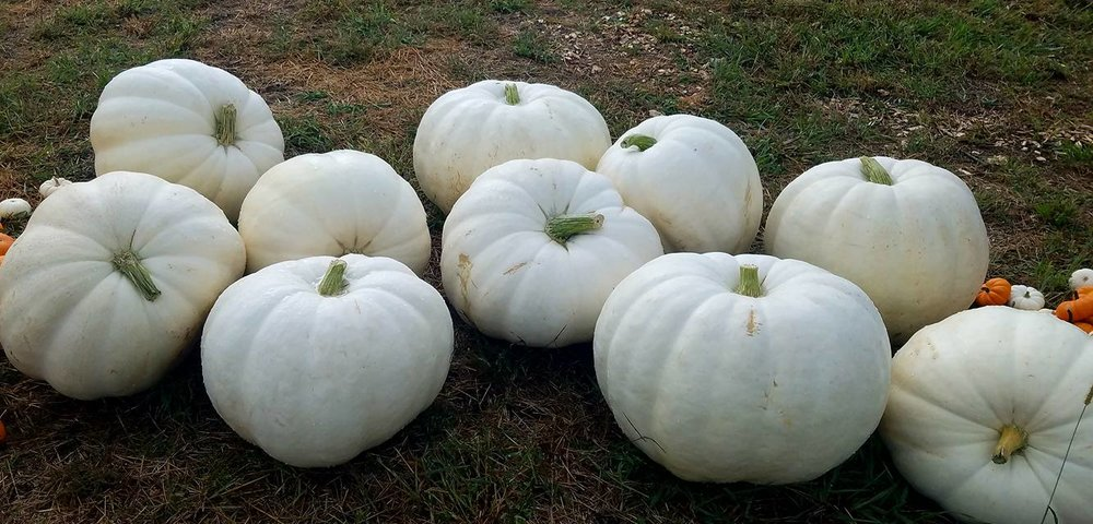 meuschke farms white pumpkins.jpg