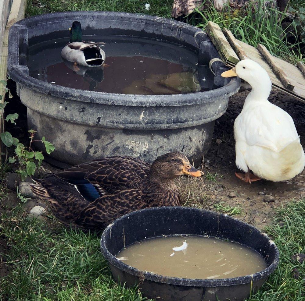 vfh fs ducks.jpg