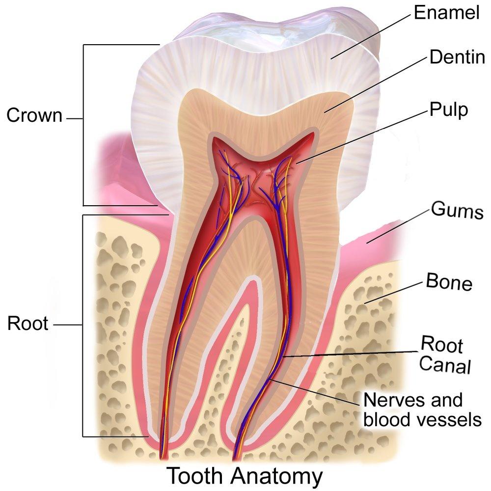 Tooth Anatomy - Dentine Exposure