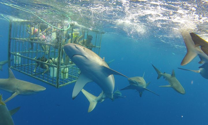 Shark Swim/Cage Diving