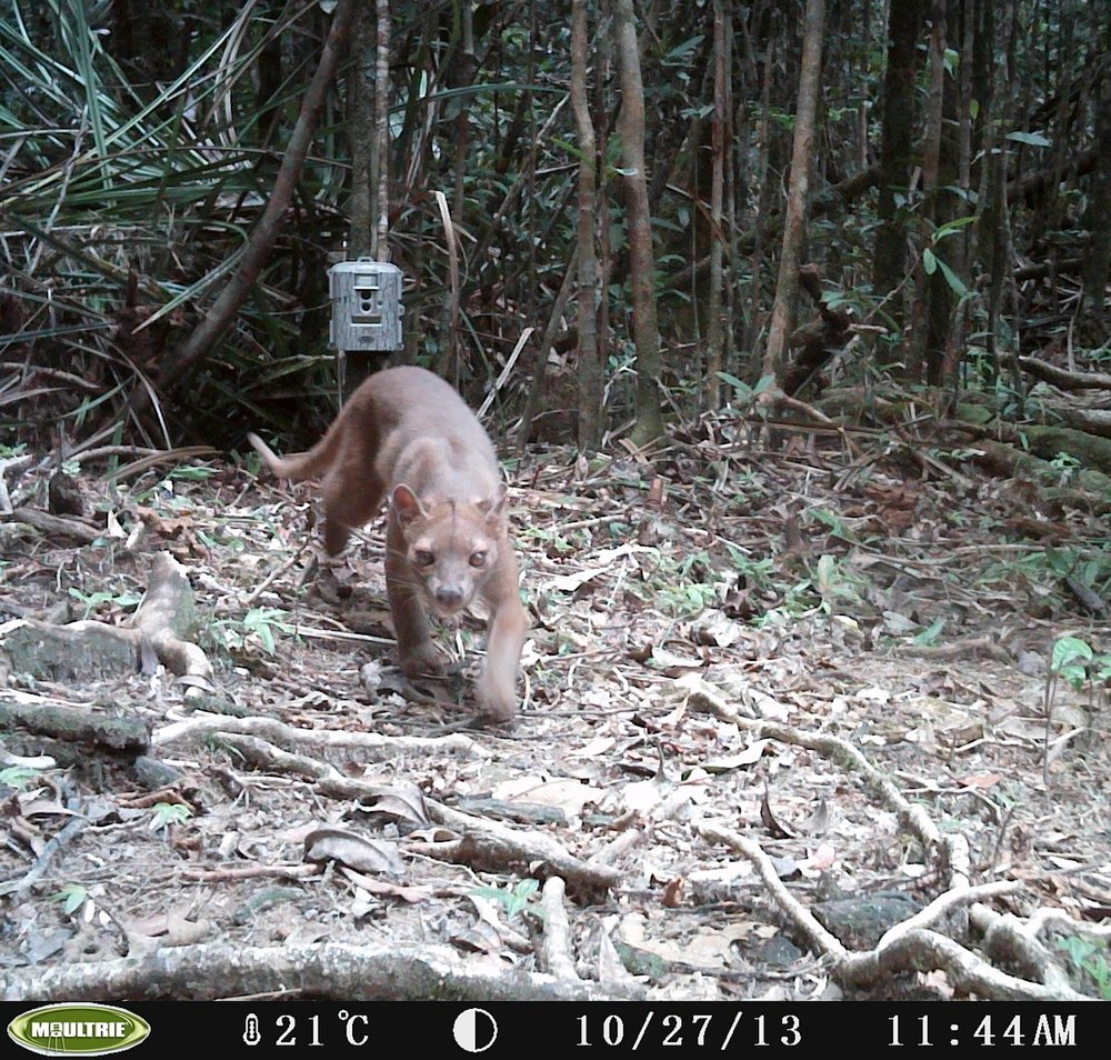 The fosa ( Cryptoprocta ferox ) is the largest native predator in Madagascar, and severely under-studied.