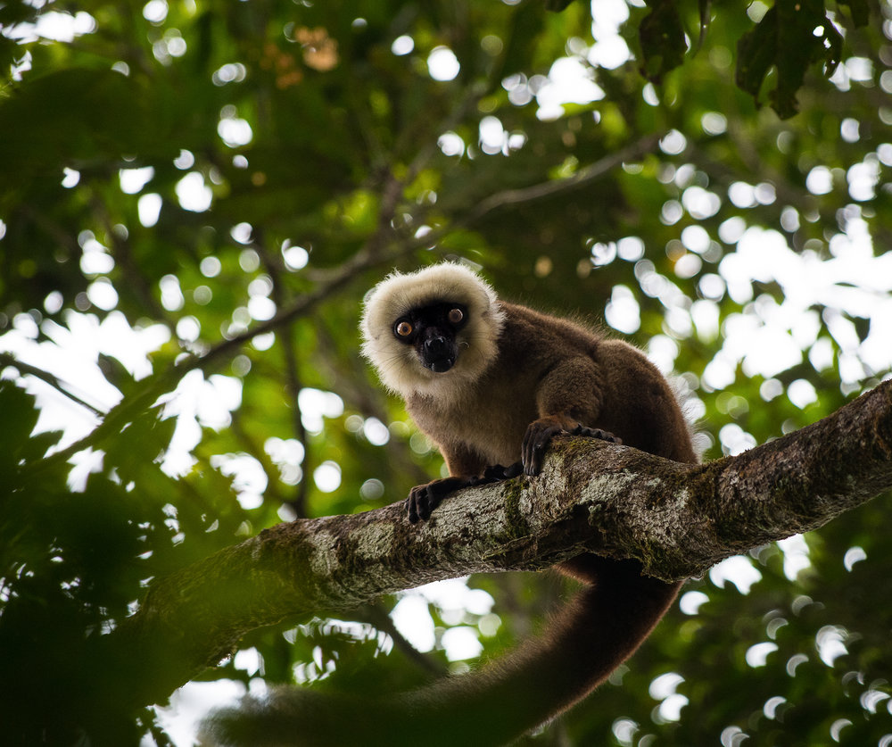 A young male white-fronted brown lemur ( Eulemur albifrons ) calls a warning.