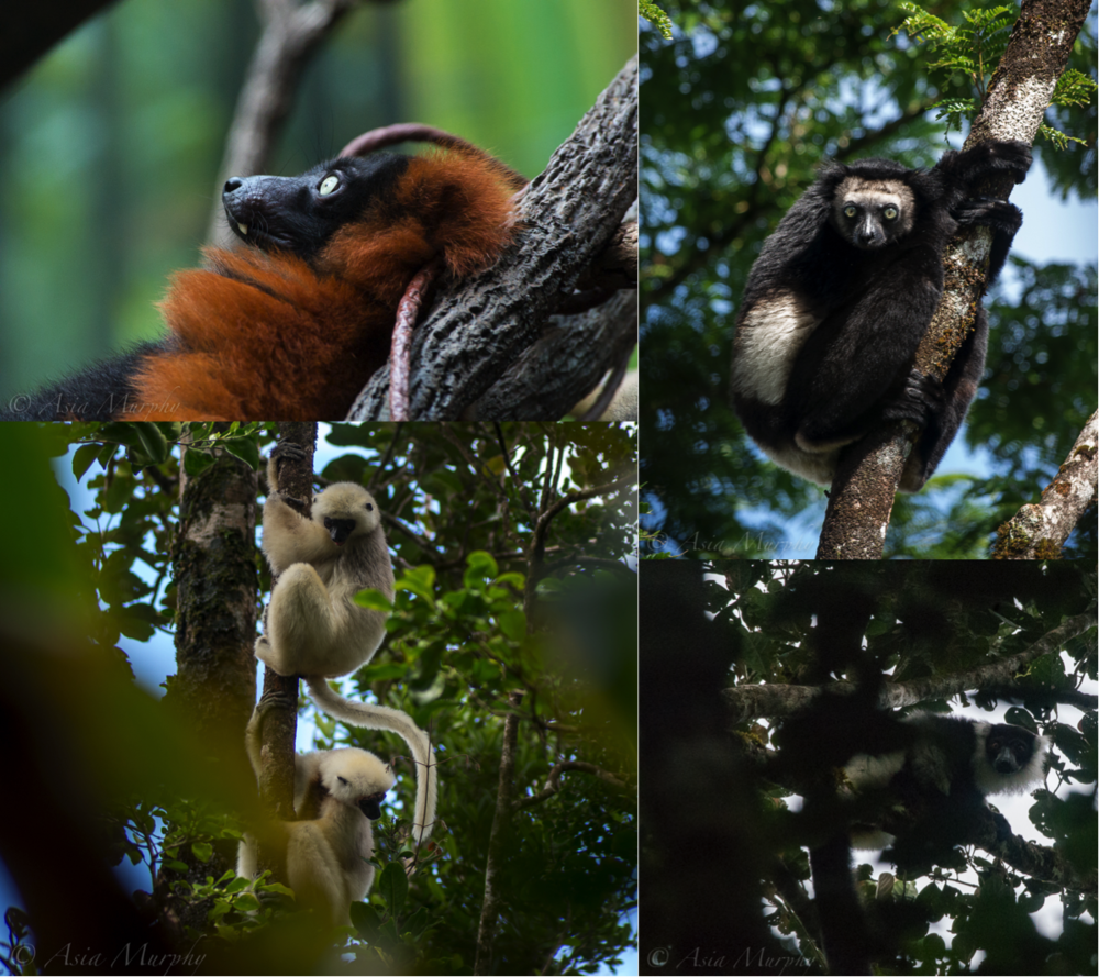 Four critically endangered lemur species found in Makira-Masoala, clockwise from top left:  red ruffed lemur  ( Varecia rubra ),  indri  ( Indri indri ),  black-and-white ruffed lemur  ( Varecia variegata subcinta ), and  silky sifaka  ( Propithecus candidus ).