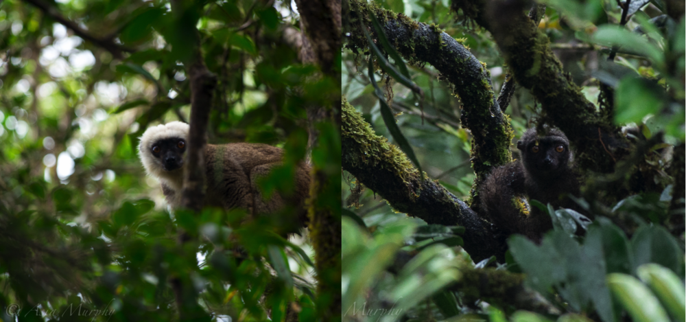 Male (left) and female (right) white-fronted brown lemurs. White-fronted brown lemurs are sexually dimorphic; only males have the characteristic white ruff.