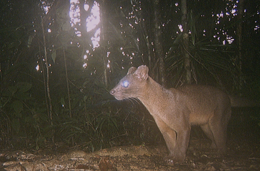 The fosa ( Cryptoprocta ferox ), Madagascar's largest native predator, thinking about eating soap (probably).