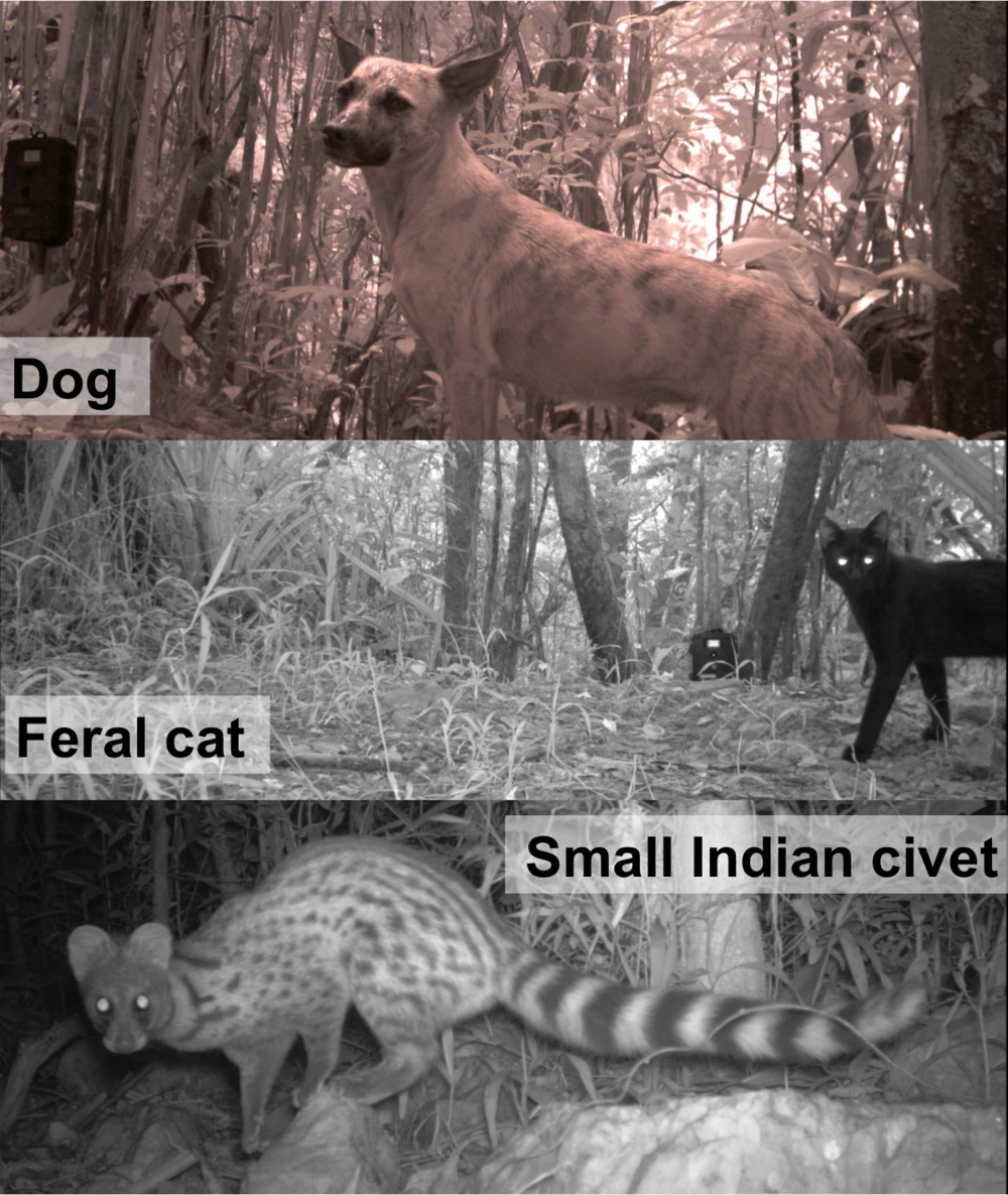 Our non-native carnivores from top to bottom:  dogs ,  feral cats , and  small Indian civets  ( Viverricula indica ).
