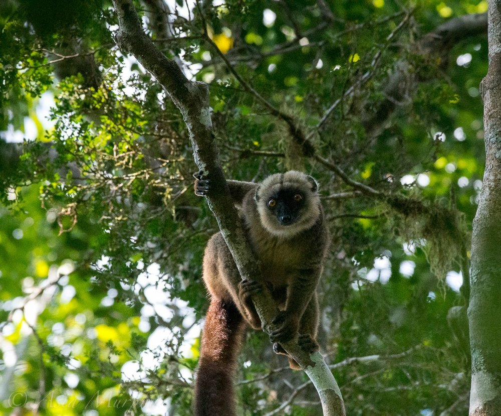 A curious male white-fronted brown lemur ( Eulemur albifrons ) looks down at us.