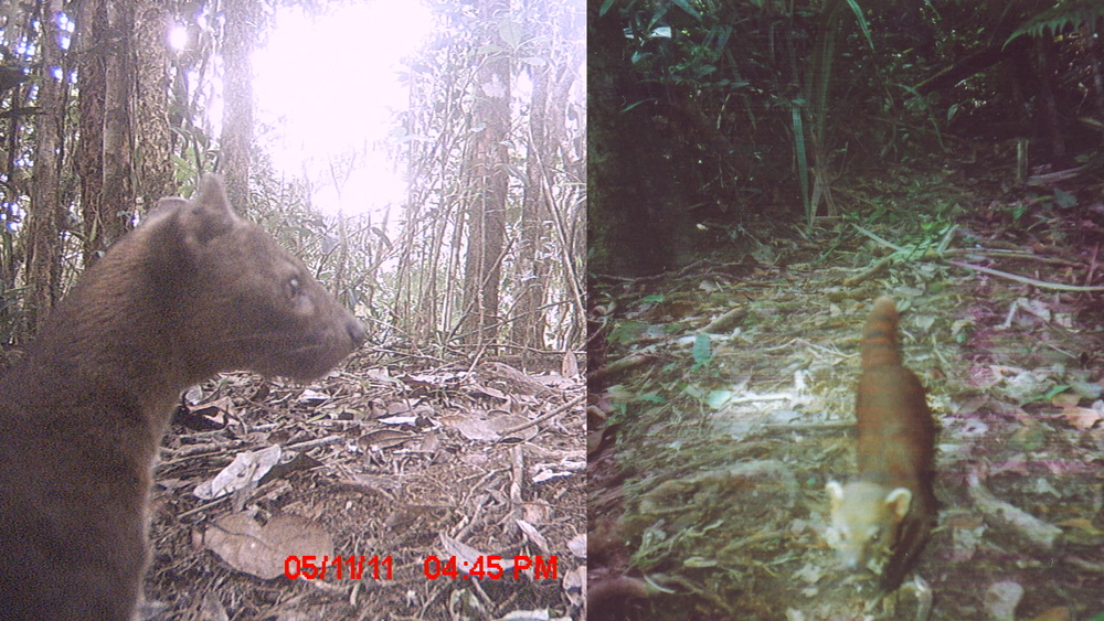 A fosa (left) and a ring-tailed vontsira (right). Ring-tailed vontsiras aren't of conservation concern YET, though population declines are cause for concern.