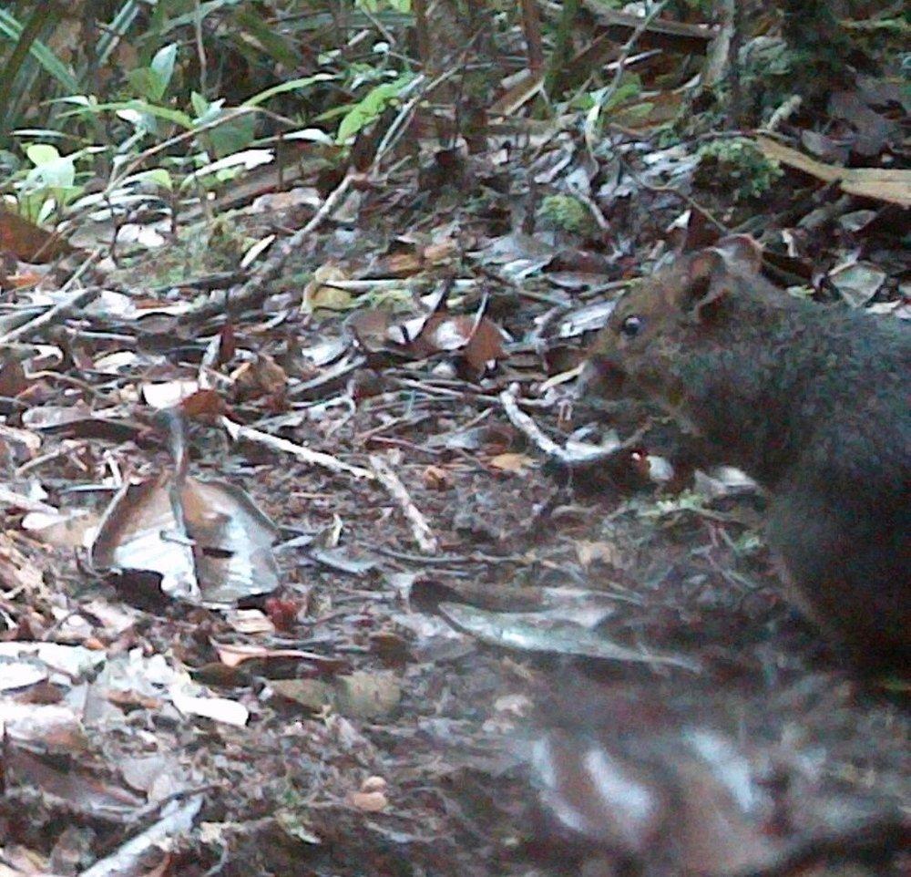 Madagascar_native_rat