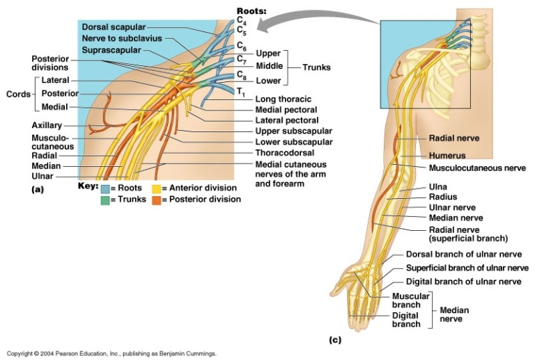 Massage Therapy For Nerve Compression Massage Therapy Toronto
