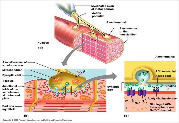 neuromuscular-junction.jpg