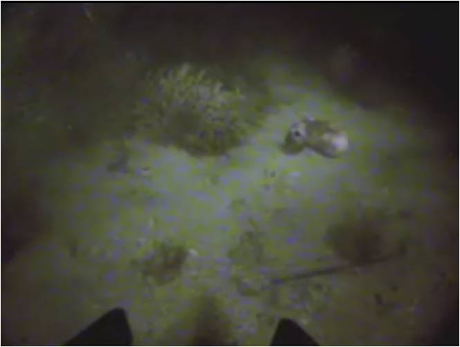 Footage of Squid Tracking captured w/ ROV