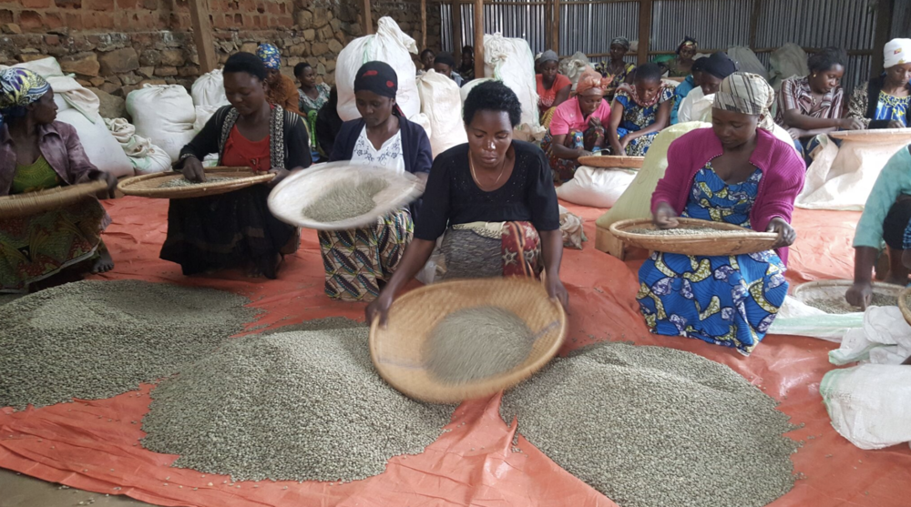 The People - The COOPADE COOP consists of 2,127 smallholder farmers. Forty percent of them (850) are women. The washing station is owned and operated by the COOP membership.