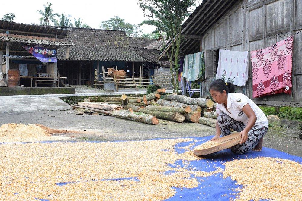 Menjemur biji jagung / Drying corn