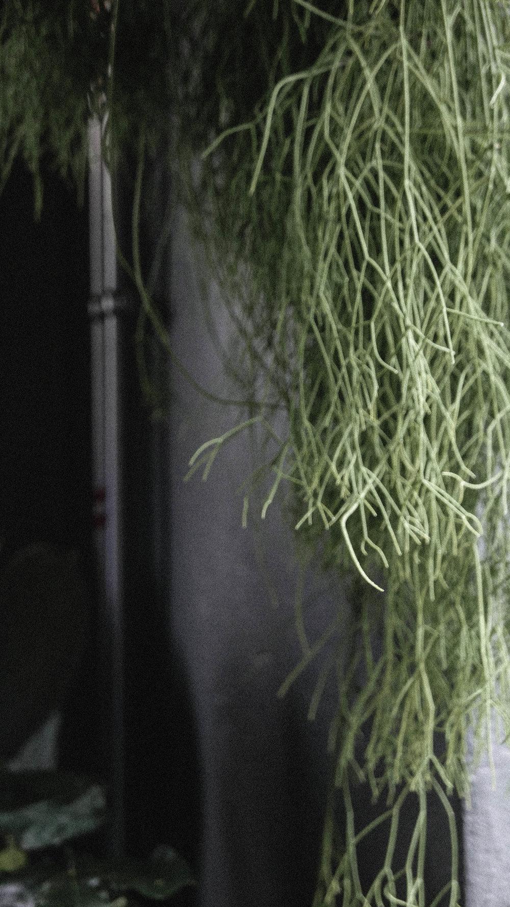 passiflora17.jpg