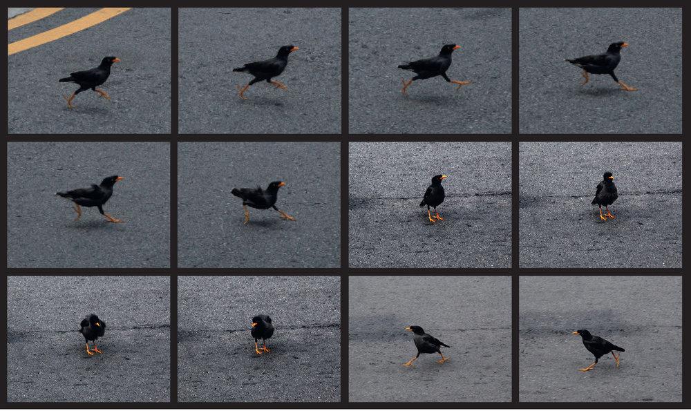 Mynah in motion.jpg