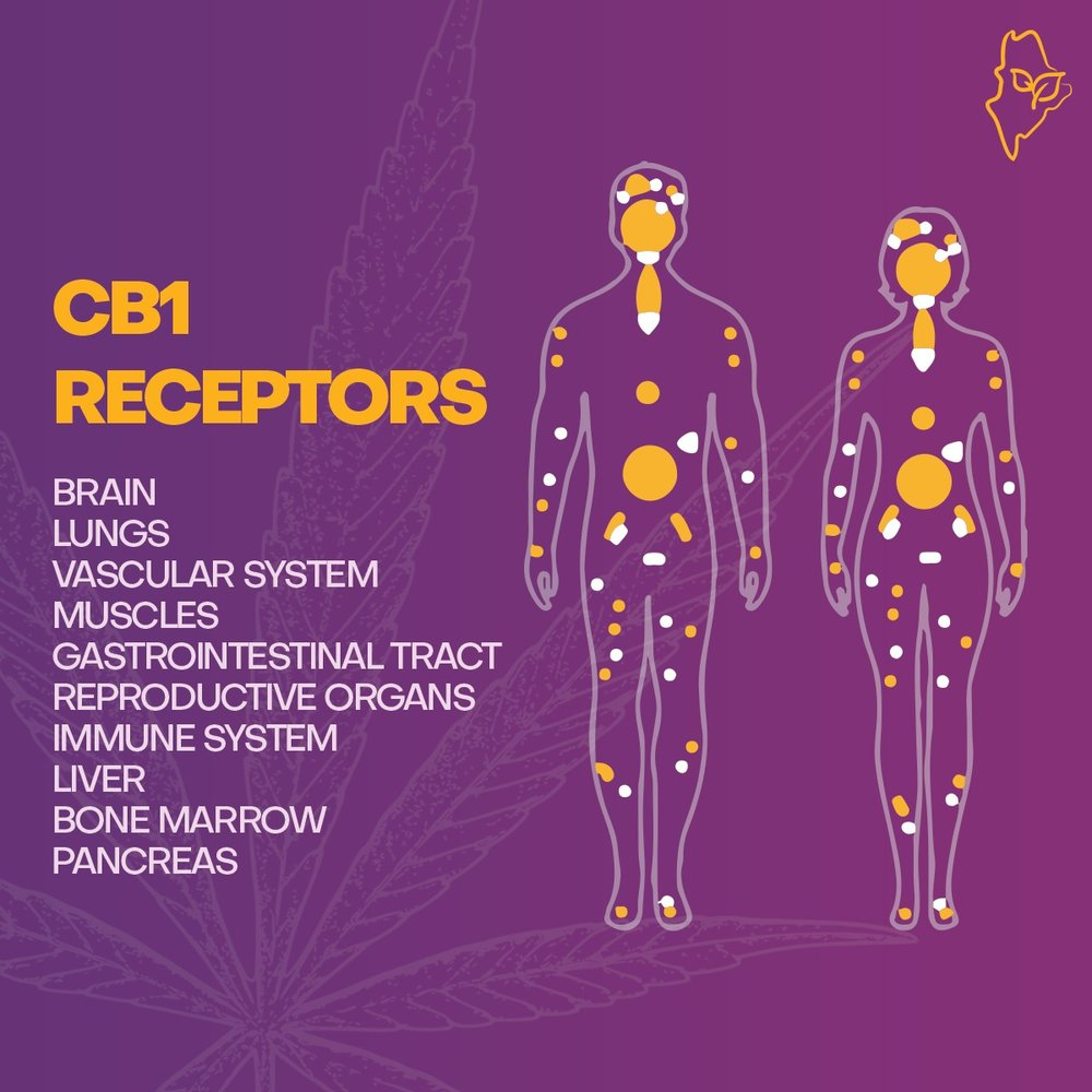 CB1 Receptors and our endocannabinoid system