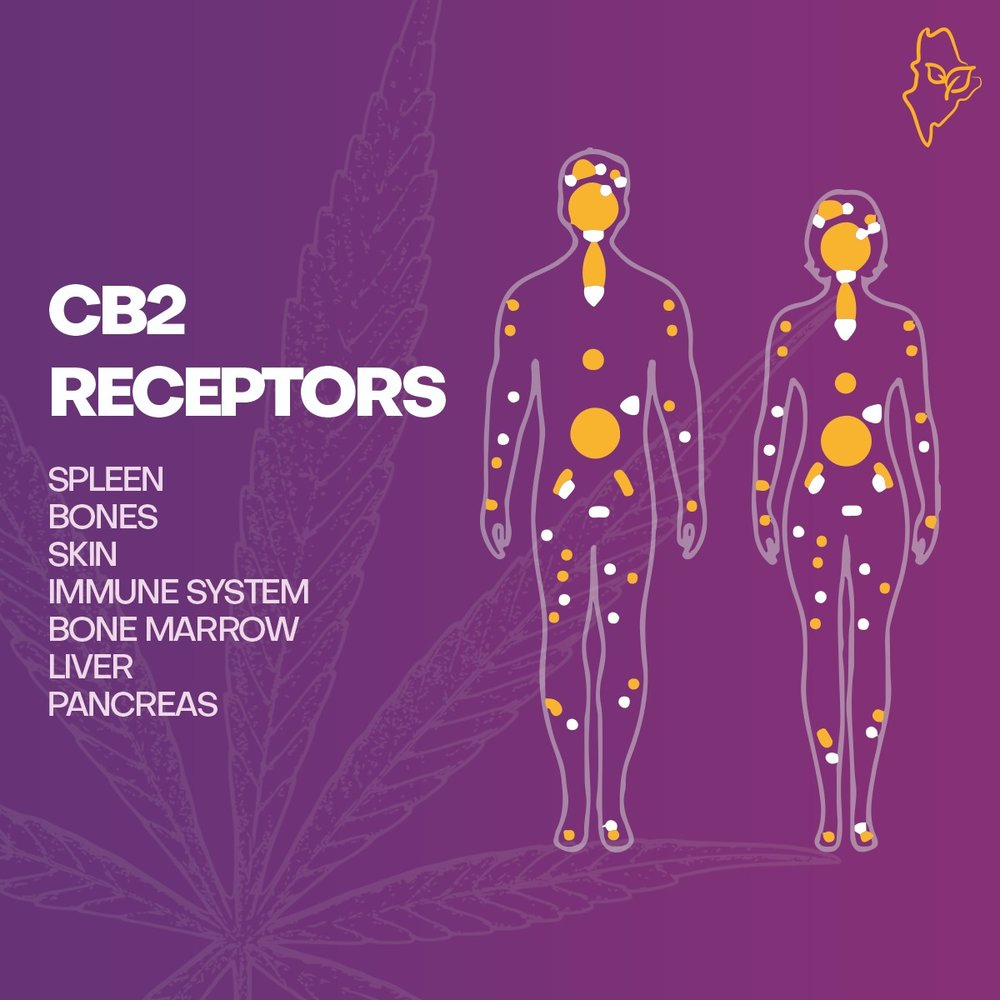 CB2 Receptor and our endocannabinoid sytems