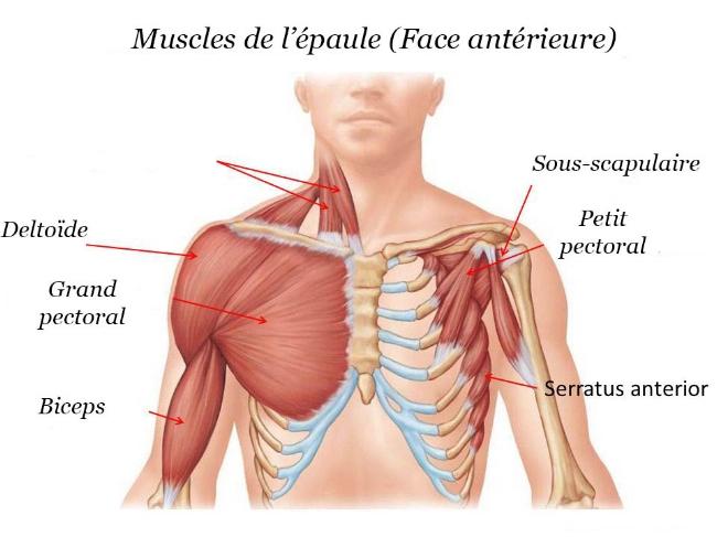 Muscles-épaule-face-antérieure-français-b.jpg