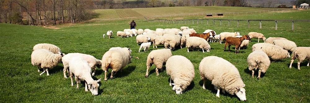 Sheep farming.jpg