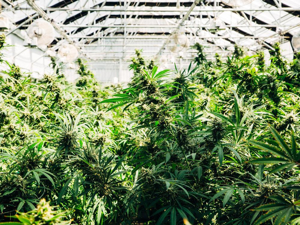 cannabis-oh-ladycakes