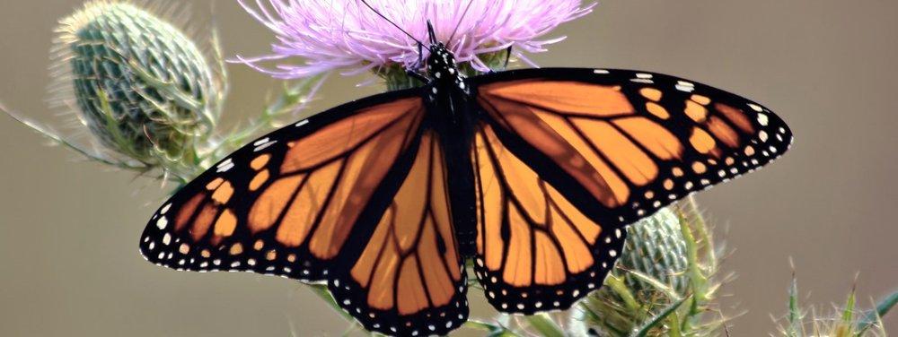 The+Butterfly.jpg