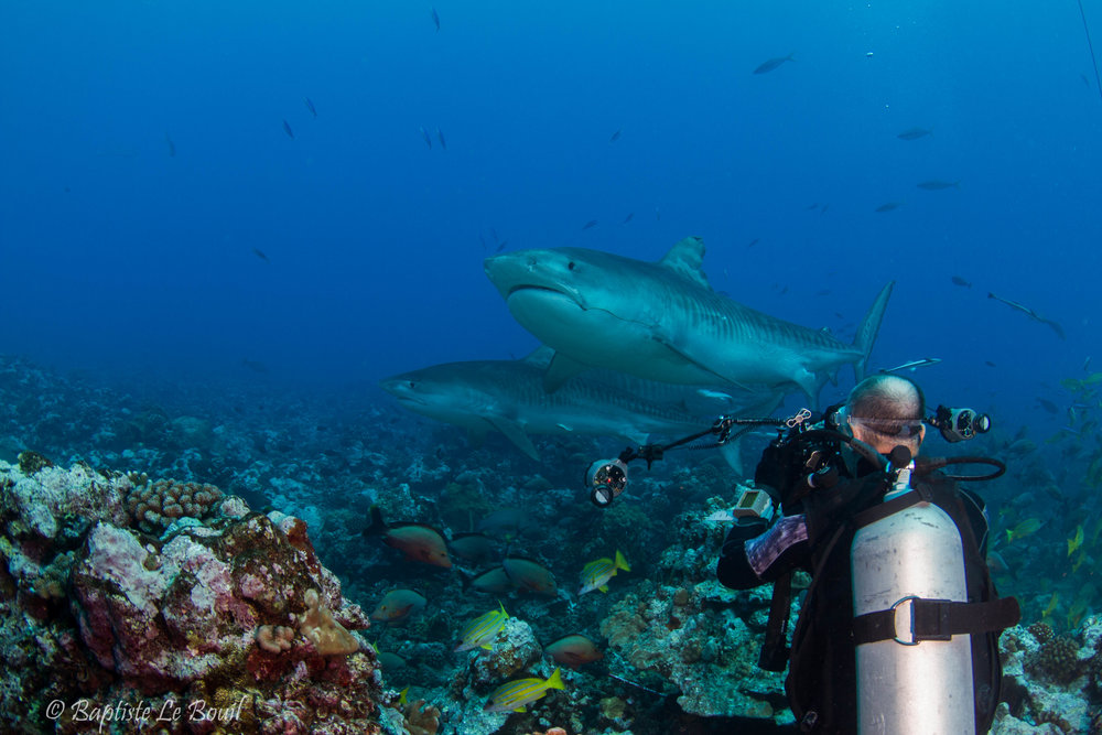 Michel Begue   TIGER SHARK SPECIALIST   After 10 years of diving, Michel knows all the tiny secrets of the    Galeocerdo cuvier   .  Let him tell you his stories full of pithy anecdotes.
