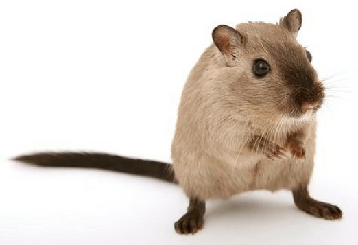 rat-canva.png