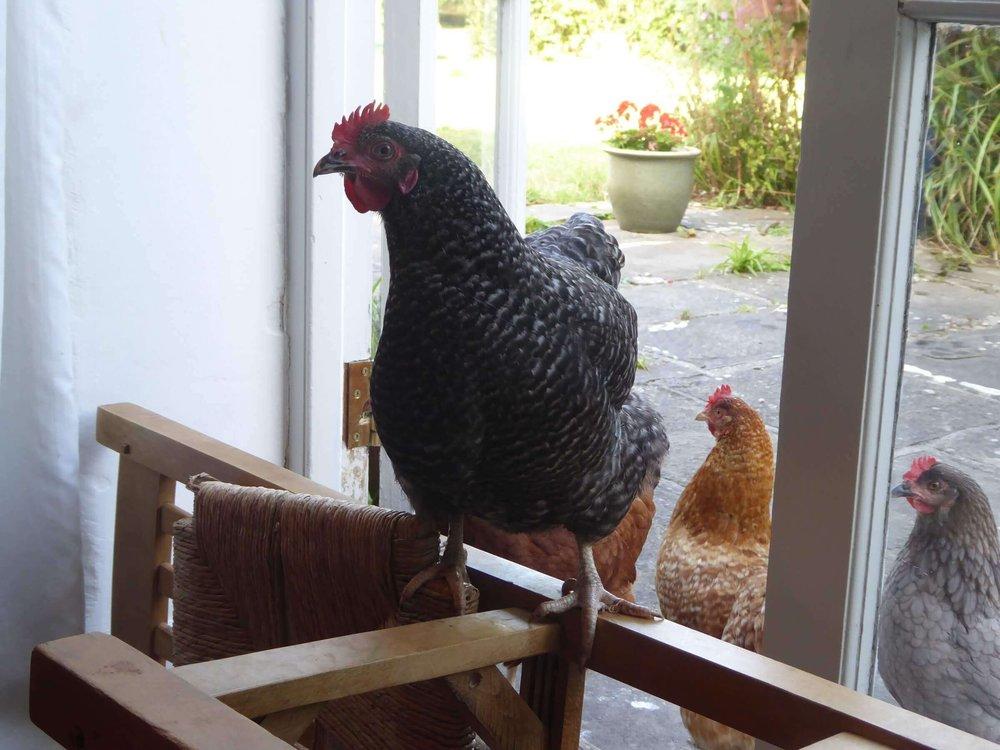chickens-e1485455308540.jpg