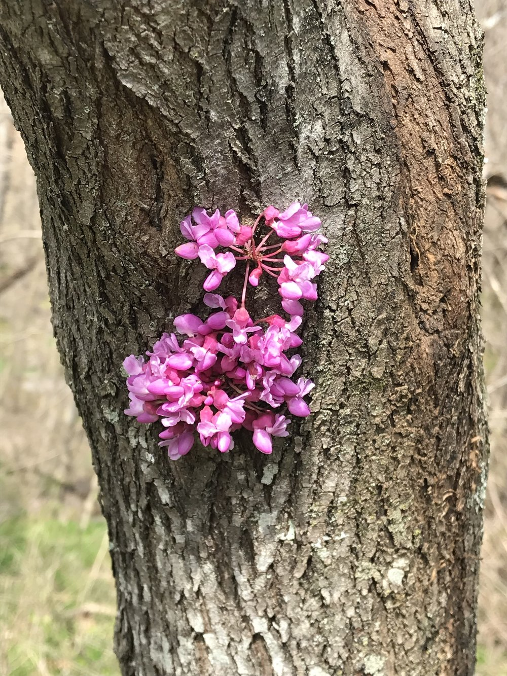 Red bud (edible)