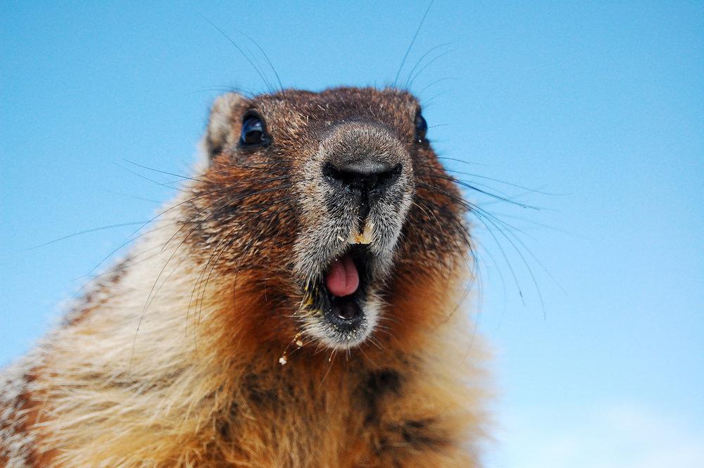 Marty Marmot.jpg