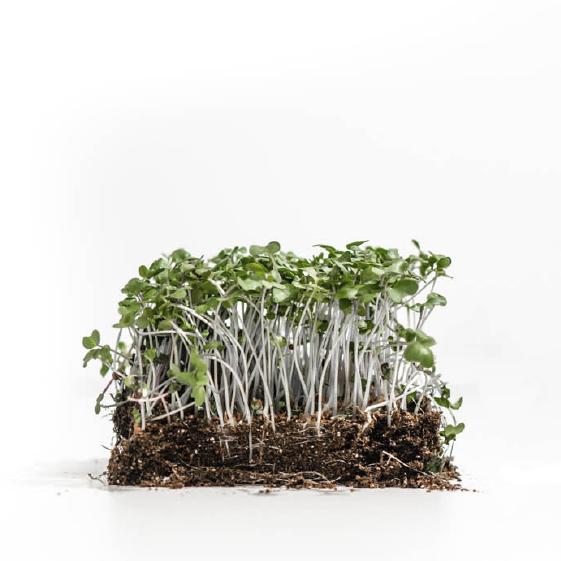 Well-Grown-Farms-microgreens-Broccoli-waltham.png