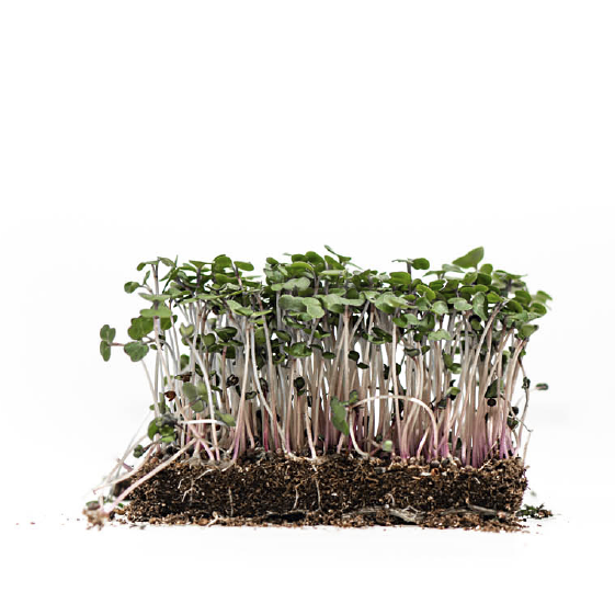 Well-Grown-Farms-microgreens-red-russian-kale.png