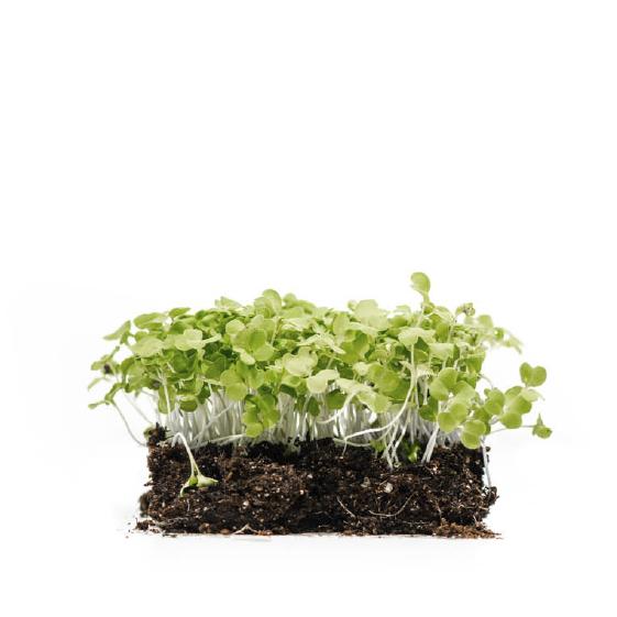 Well-Grown-Farms-microgreens-Tokyo-bekana-chinese-cabbage.png