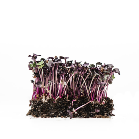 Well-Grown-Farms-microgreens-sango-all-purple-radish.png