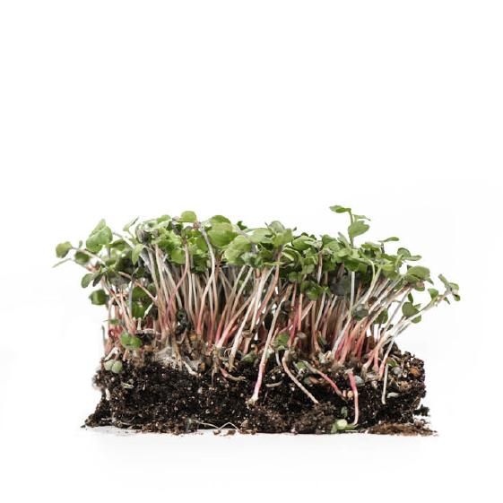 Well-Grown-Farms-microgreens-China-rose-radish.png