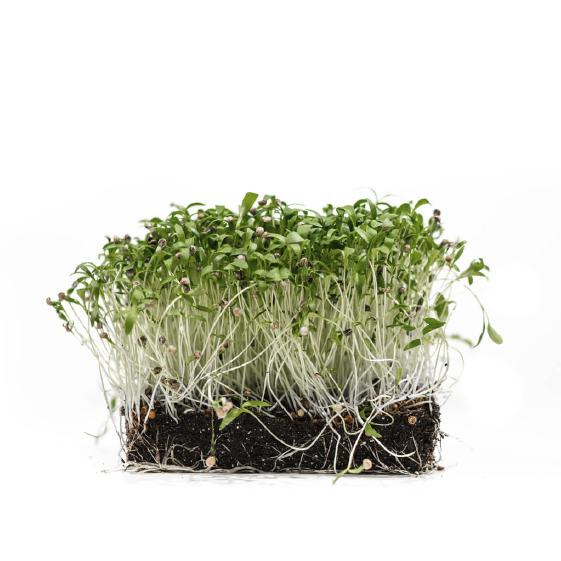 Well-Grown-Farms-micgrogreens-Cilantro-leisure-split.png