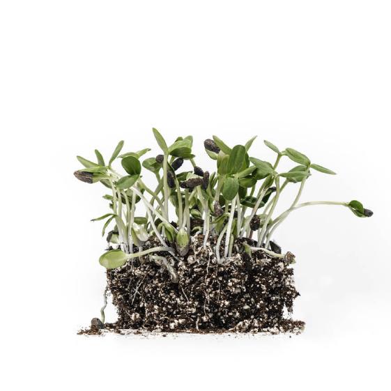 Well-Grown-Farms-microgreens-Sunflower.png