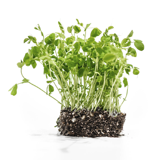 Well-Grown-farms-microgreens-speckled-pea